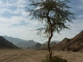 Acacia in Wadi el Abrag, Go tell it on the mountain, Ben Hoffler.jpg