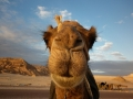 Up close to a camel, SInai, Go tell it on the mountain