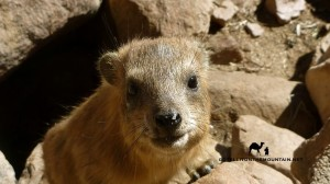 Rock hyrax, Sinai, Go tell it on the mountain_result
