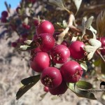 Hawthorn berries, Sinai, Go tell it on the mountain_result