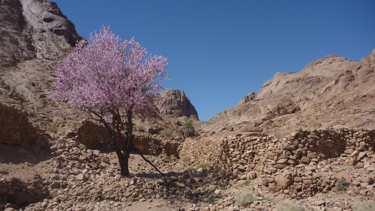 Pink almond, Sinai, Go tell it on the mountain