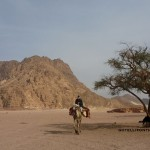 Jebel Mileihis with camel, Go tell it on the mountain._result