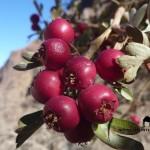 Crataegus Sinaica, Sinai Hawthorn berries, Ben Hoffler