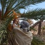 Dates, Sinai, Balah, Ben Hoffler