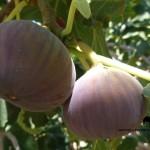 Ficus carica, Teen Baree, Fig, Sinai Ben Hoffler
