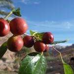 Zizyphus spina christi, Nabag fruit, Sinai, Ben Hoffler